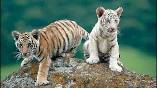 National Geographic Documentary - Tigers Revenge - Wildlife Animals